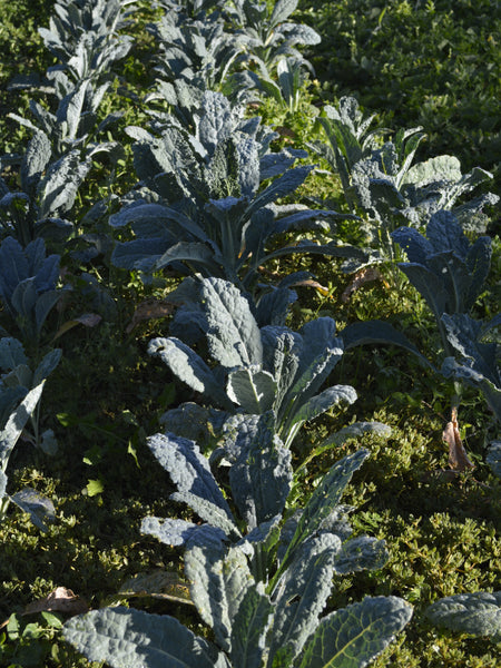 Black Tuscan kale image##Photo: Adrienne Kimmy.##