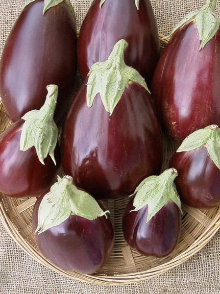 Black Beauty eggplant image####