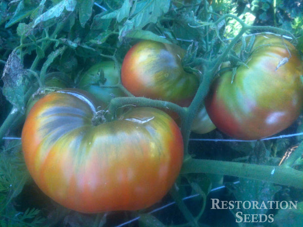 Black from Tula tomato image####