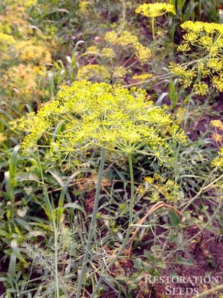 Bouquet dill image####