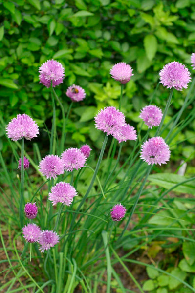 Broad Leaved chives image####