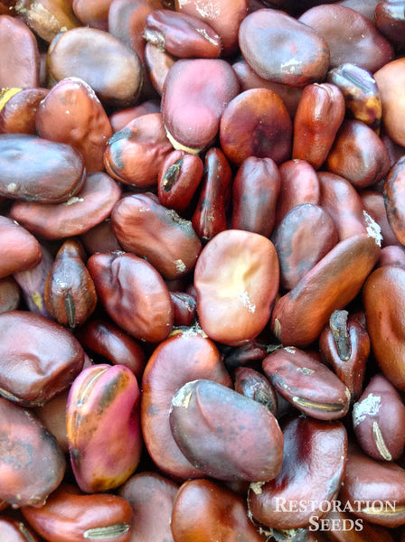 Brown fava bean image####