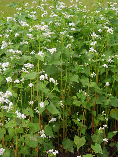 buckwheat image##Photo: Dalgial##https://commons.wikimedia.org/wiki/File:%EB%A9%94%EB%B0%80.JPG#/media/File:%EB%A9%94%EB%B0%80.JPG