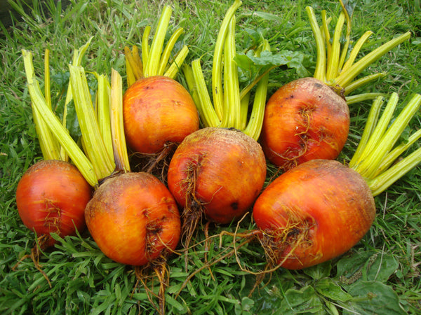Burpee's Golden beet image##Two Chances Veg Plot Blog##https://twochancesvegplot.wordpress.com/tag/beetroot/