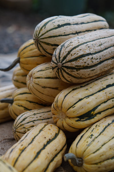 Bush Delicata winter squash pepo image####