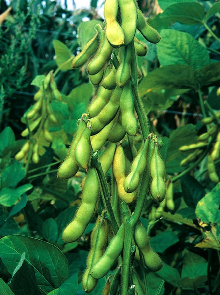 Butterbeans edamame image####