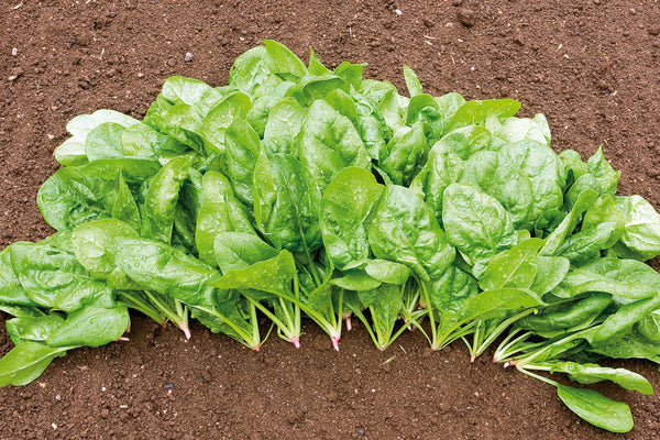 Butterflay spinach image####