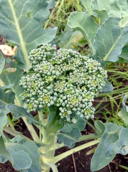 Calabrese Organic broccoli image####