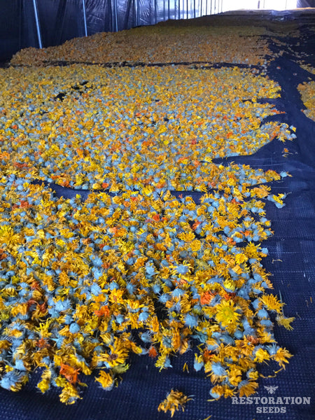 Mix calendula image##Photo: Calendula flowers drying at Oshalla Farm, Williams, Oregon.##