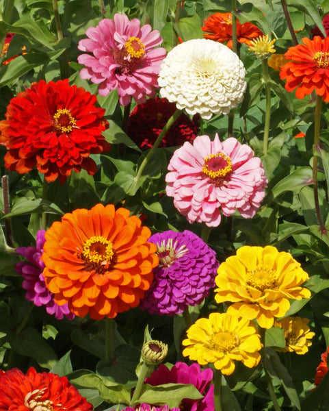 California Giants Mix zinnia image####