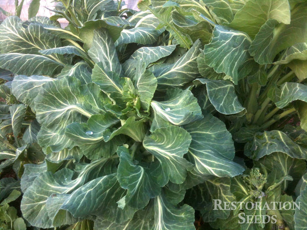 Champion collards image####