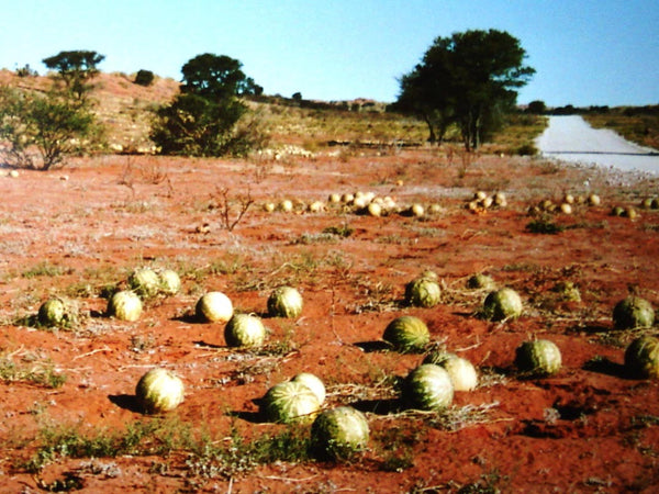 Red Seeded citron melon image##Photo: Genet, Tsamma melons in the Kalahari Desert.##