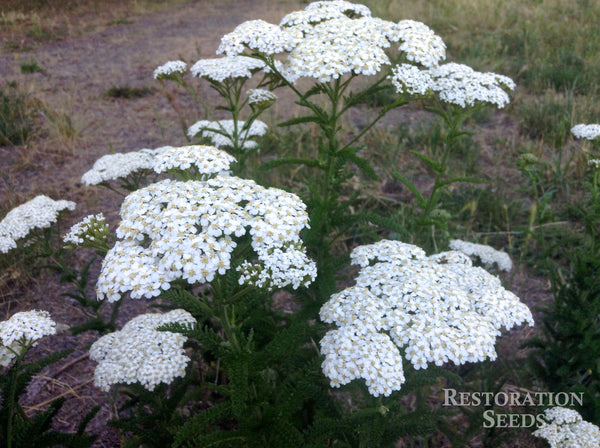 yarrow, common image####