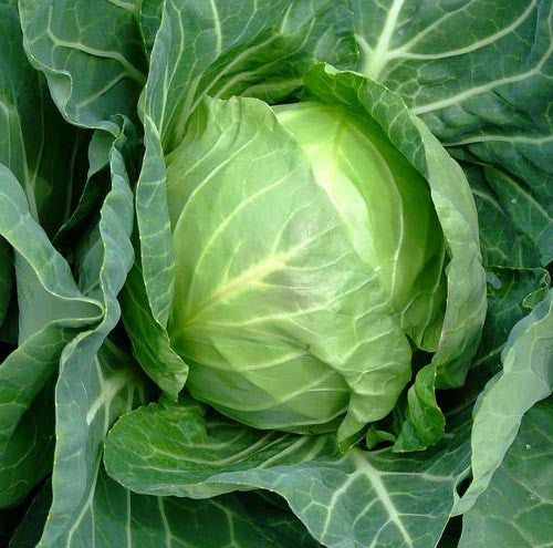 Copenhagen Market Early Improved cabbage image####