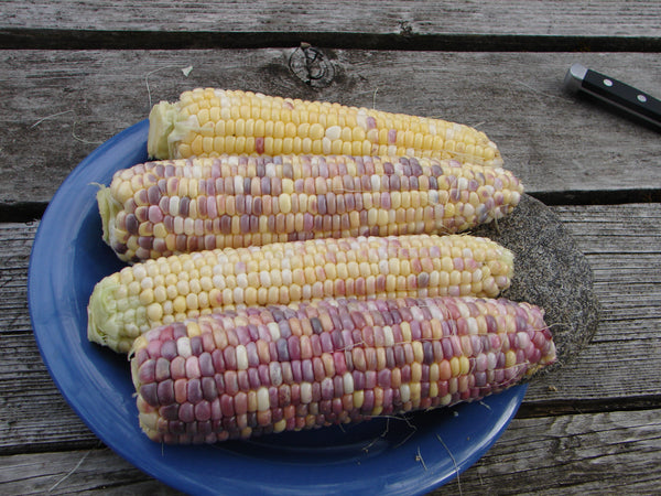 Tux Multi-color corn, sweet image####