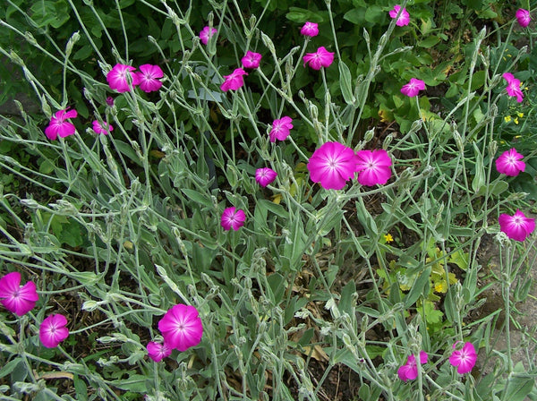 Rose Champion lychnis image####