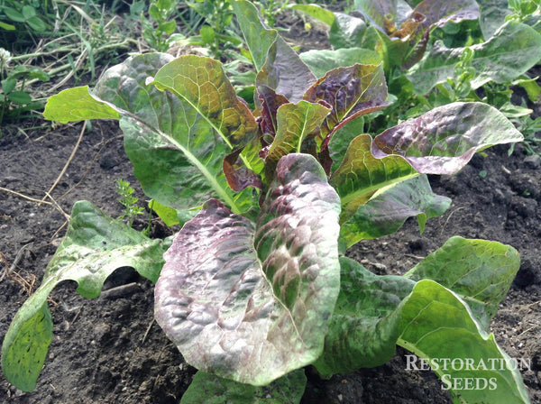 Cracoviensis lettuce image####