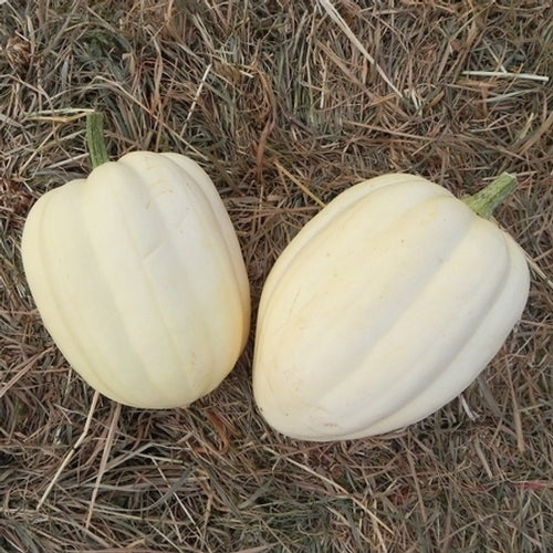 Cream of the Crop winter squash pepo image####