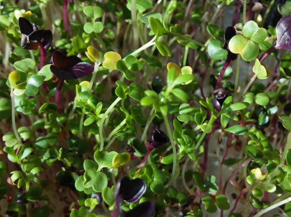 Curled Peppergrass garden cress image##Vinny Yim, Cam Fresh Farms##http://www.camfreshfarms.com/micro-greens--a-m--1.html