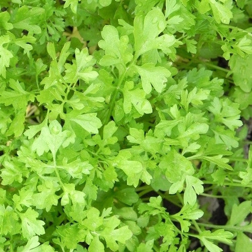 Curled Peppergrass garden cress image####