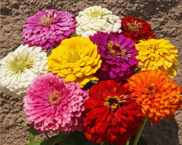 Dahlia Flowered Mix zinnia image####