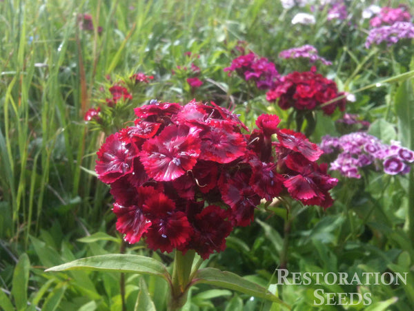 Sweet William dianthus image####