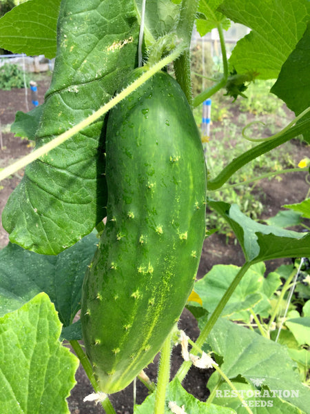 Early Fortune cucumber image####