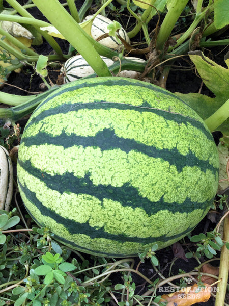 Early Moonbeam Yellow watermelon image####