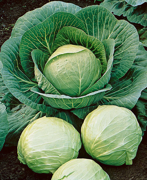 Early Round Dutch cabbage image####