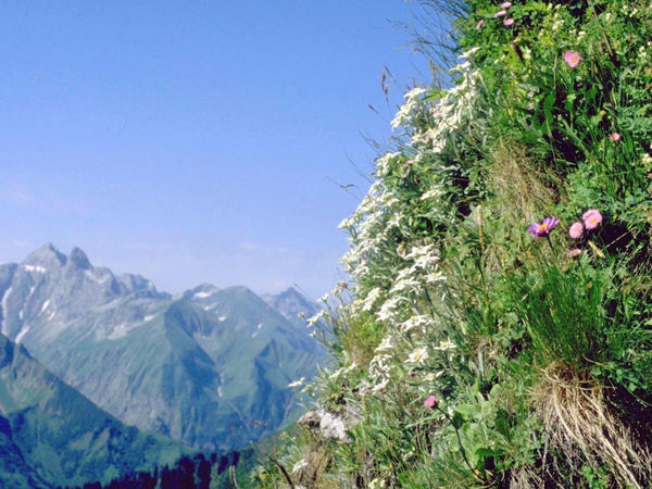 edelweiss image##Photo: Springginggelar. Edelweiss in the Alps, Höfats, Germany.##