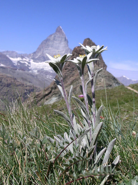 edelweiss image##Photo: Thomas Mathis. Edelweiss with the Matterhorn.##