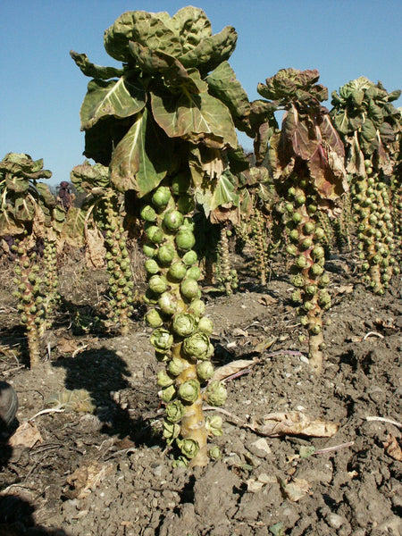 Elite brussels sprouts image####