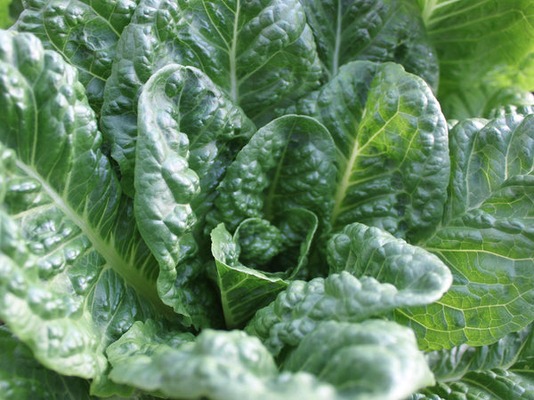 Emerald Fan lettuce image####