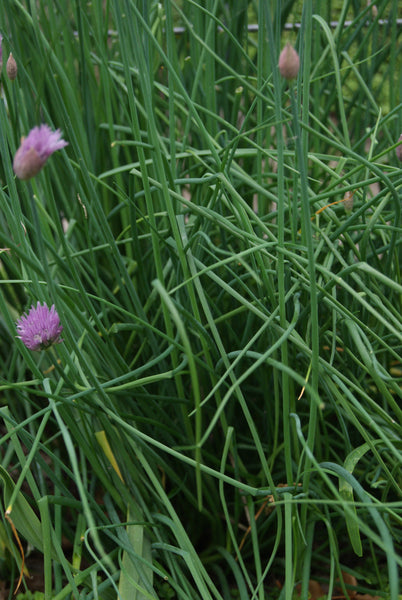 Fine Leaved chives image####