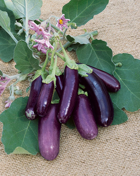 Finger Fruit Purple eggplant image####