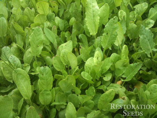 Broad-Leaf french sorrel image####