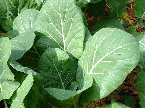 Georgia Southern collards image####