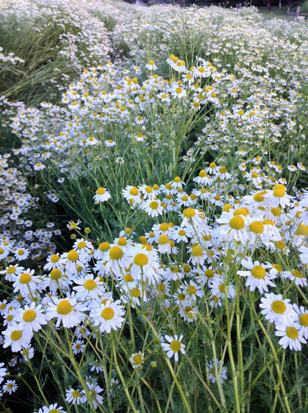 German chamomile image####