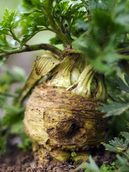 Giant Prague celeriac image##Photo: Mark Diacono, Otter Farm##http://shop.otterfarm.co.uk
