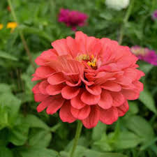 Giant Coral zinnia