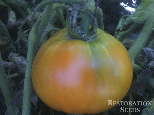 Golden Queen USDA tomato image####