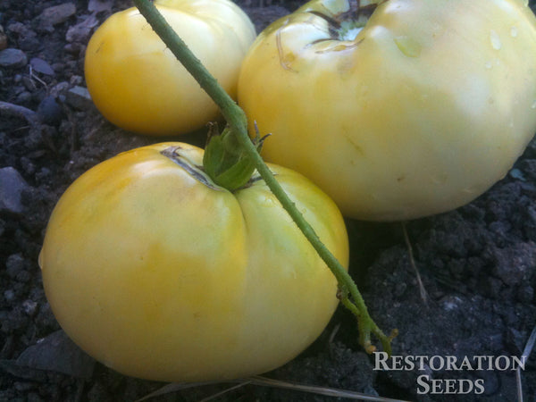 Great White tomato image####