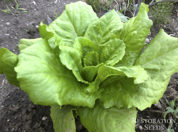 Greek Maroulli Cos lettuce image####