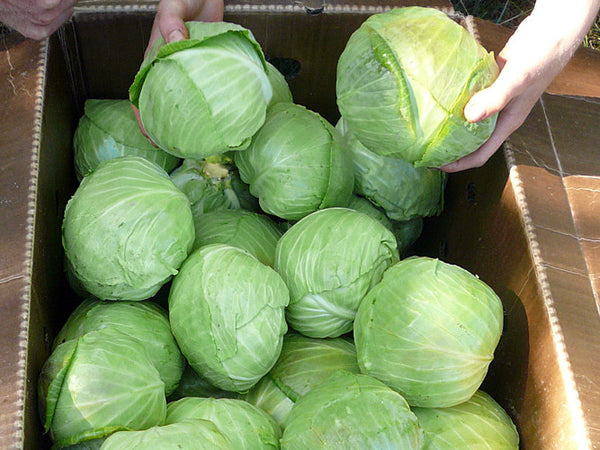 Green Columbia cabbage image####