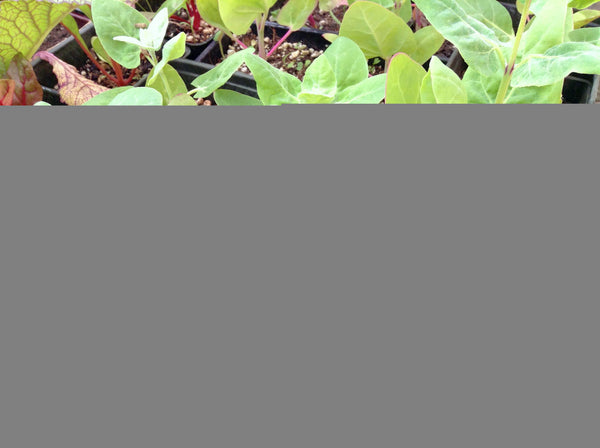 Green orach image####