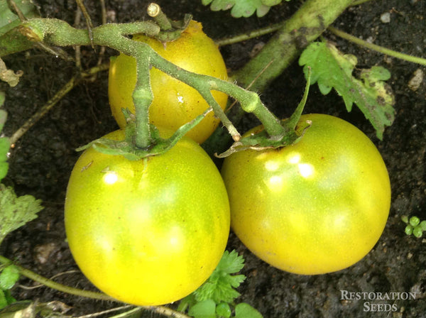 Green Grape tomato image####
