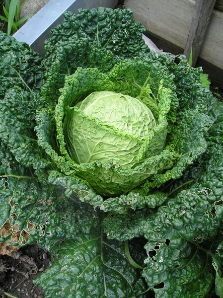Herald cabbage image####