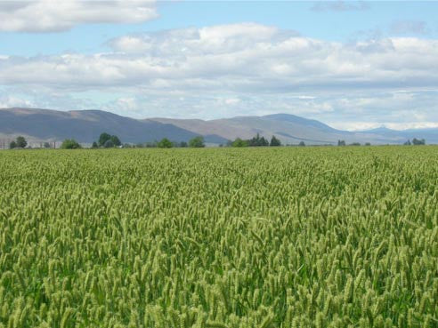 Winter barley image##Oregon State University##http://barleyworld.org