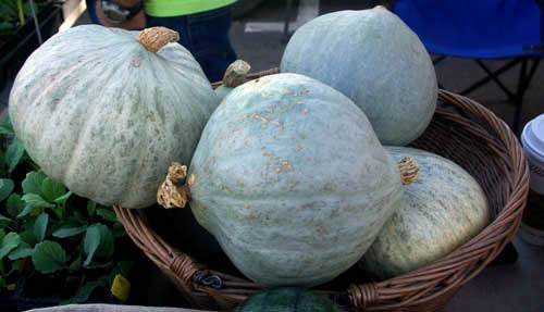 Hubbard Baby Blue winter squash maxima image##Kathryn Hall##http://plantwhateverbringsyoujoy.com