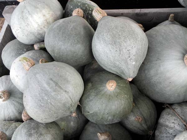 Hubbard Baby Blue winter squash maxima image##Sarah Oh##https://www.flickr.com/photos/saamiam/6303561013/